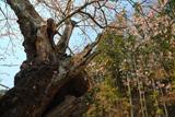篠神社の桜