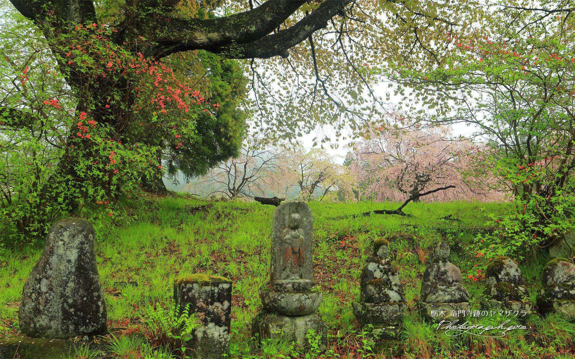 竜門寺跡のヤマザクラ
