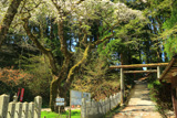 転法輪寺のしだれ桜