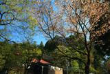 金剛山の山桜