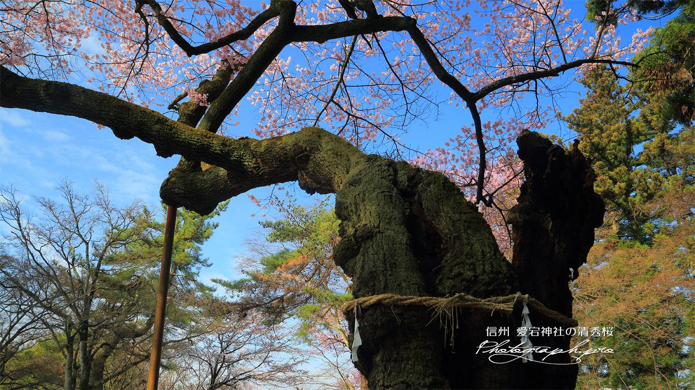 愛宕神社の清秀桜 壁紙