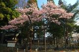 愛宕神社の清秀桜