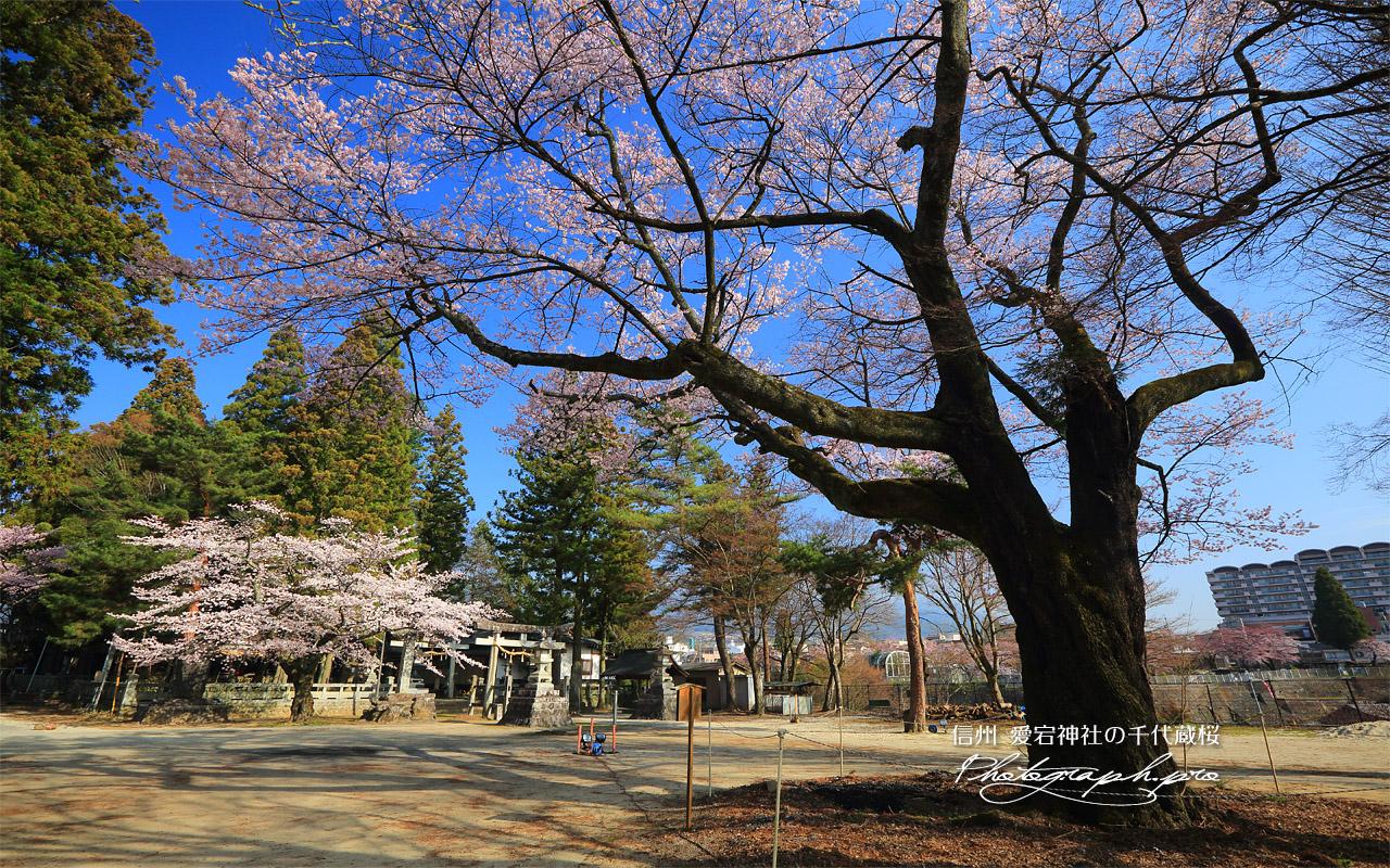 愛宕神社の千代蔵桜 壁紙