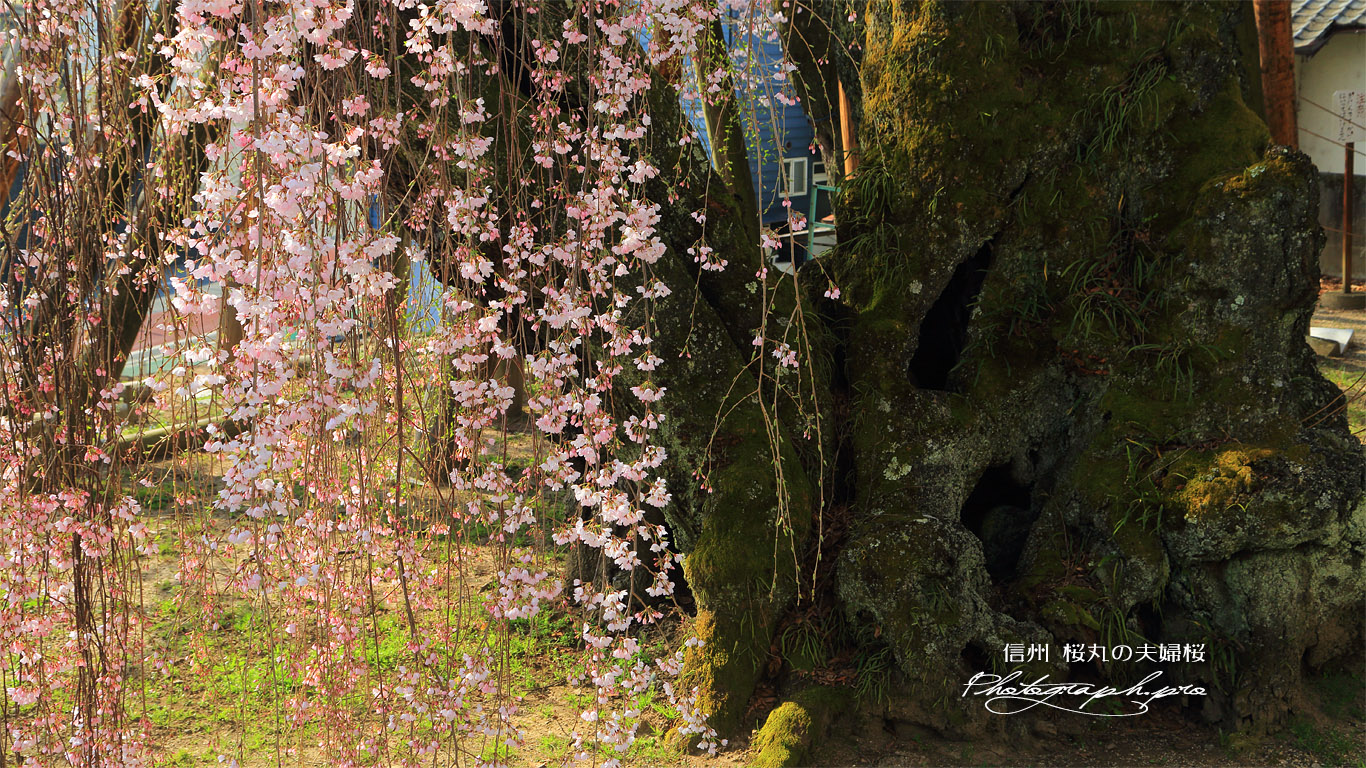 桜丸の夫婦桜 壁紙
