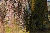 桜丸の夫婦桜