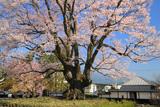 飯田市の桜