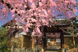 黄梅院の紅しだれ桜