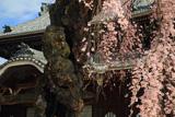 正永寺のシダレザクラ