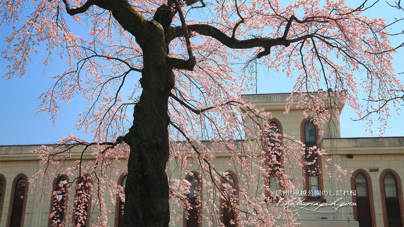 風越公園のしだれ桜 壁紙
