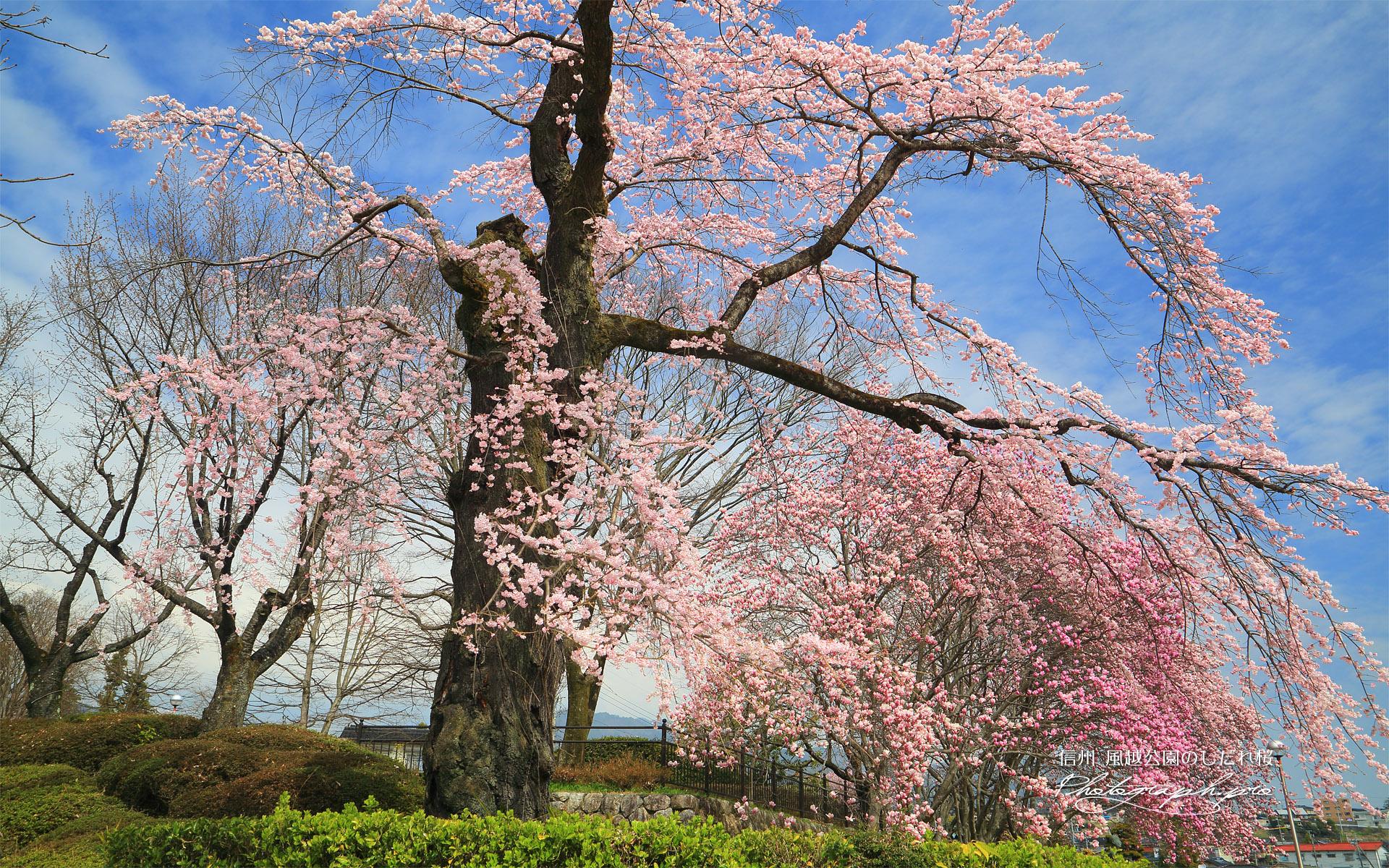 風越公園のしだれ桜