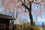 普門院址糸桜