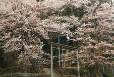 矢高諏訪神社の殿様三本桜