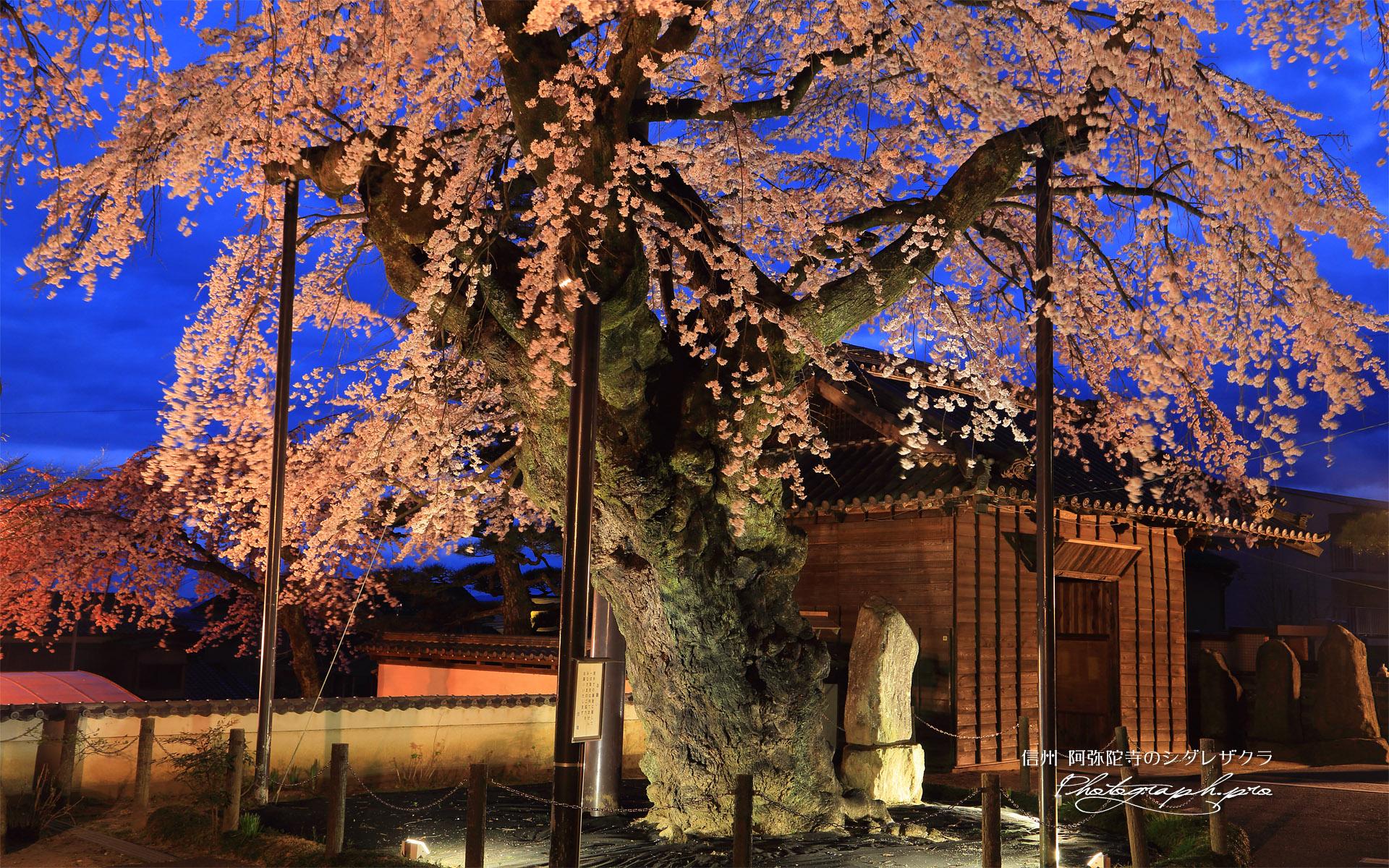 阿弥陀寺のシダレザクラ