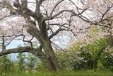飯田市美術博物館のエドヒガン