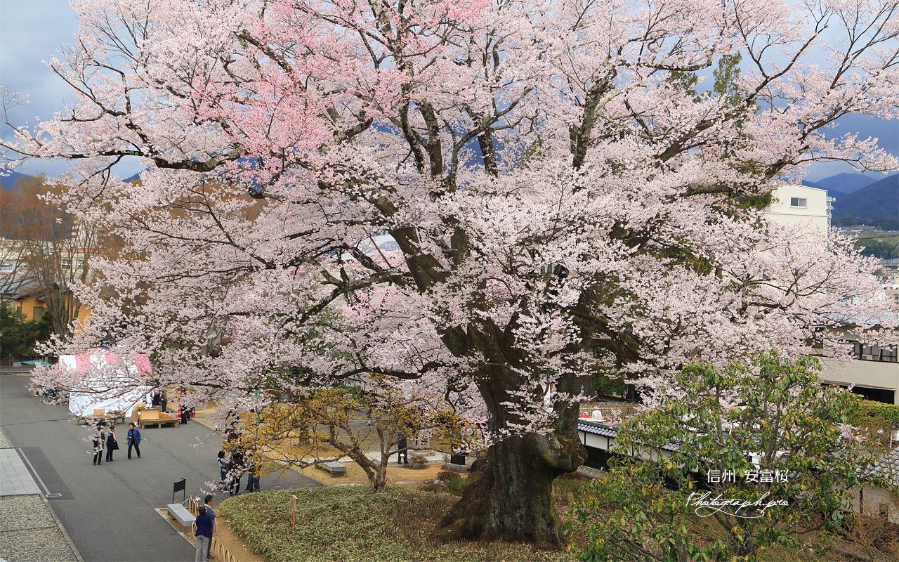 安富桜 壁紙