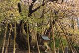 中将姫誓願桜