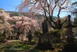 香住寺のシダレザクラ