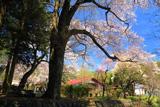 辰野町 薬王寺の桜