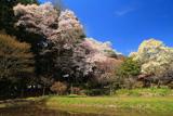 薬王寺の桜