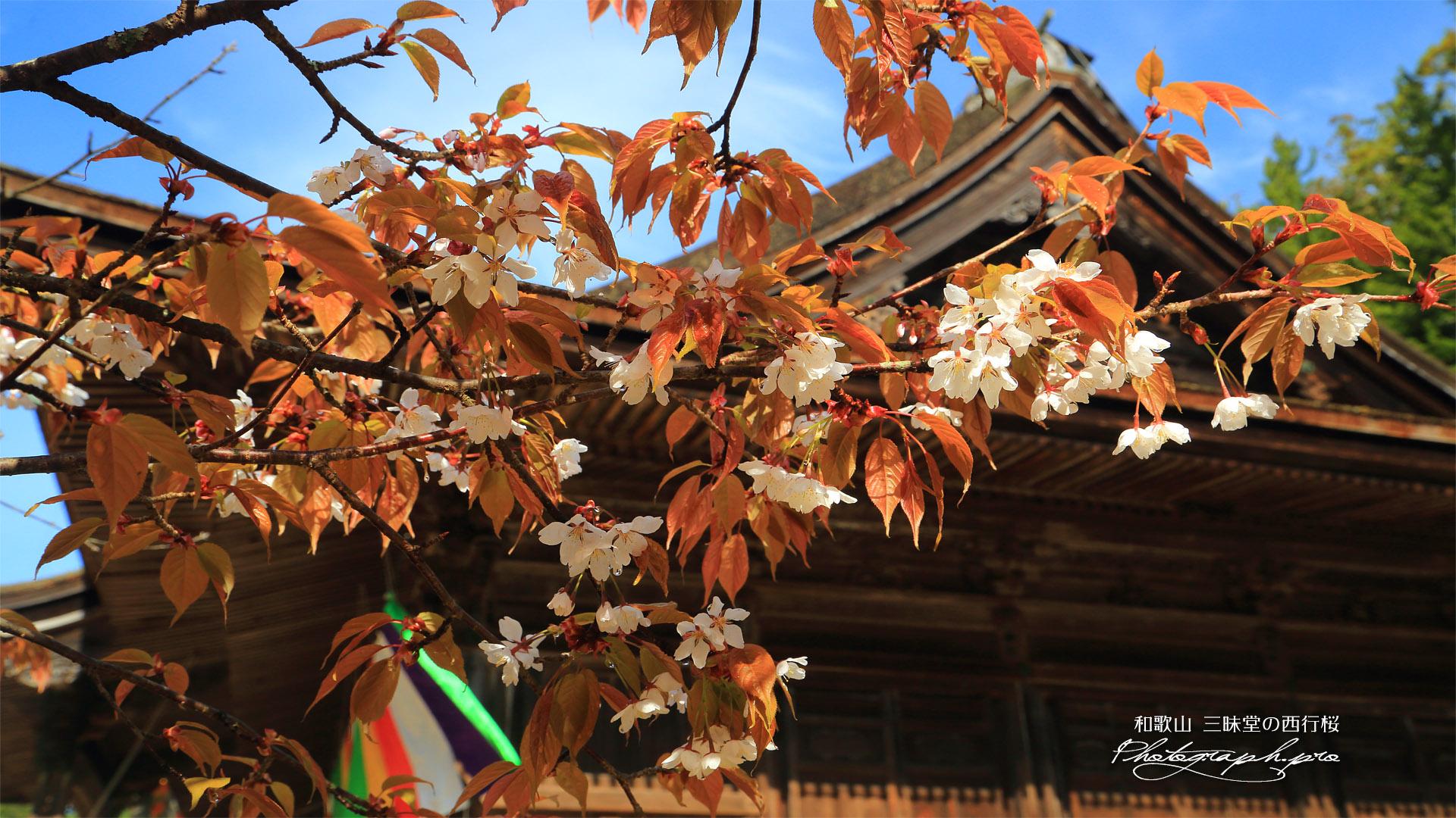 三昧堂の西行桜