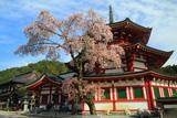 高野山 成福院の桜