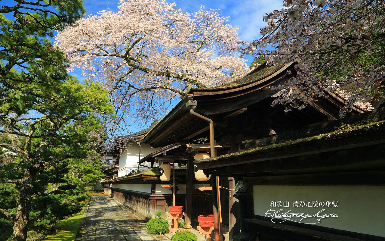 清浄心院の傘桜 壁紙