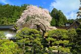 清浄心院の傘桜