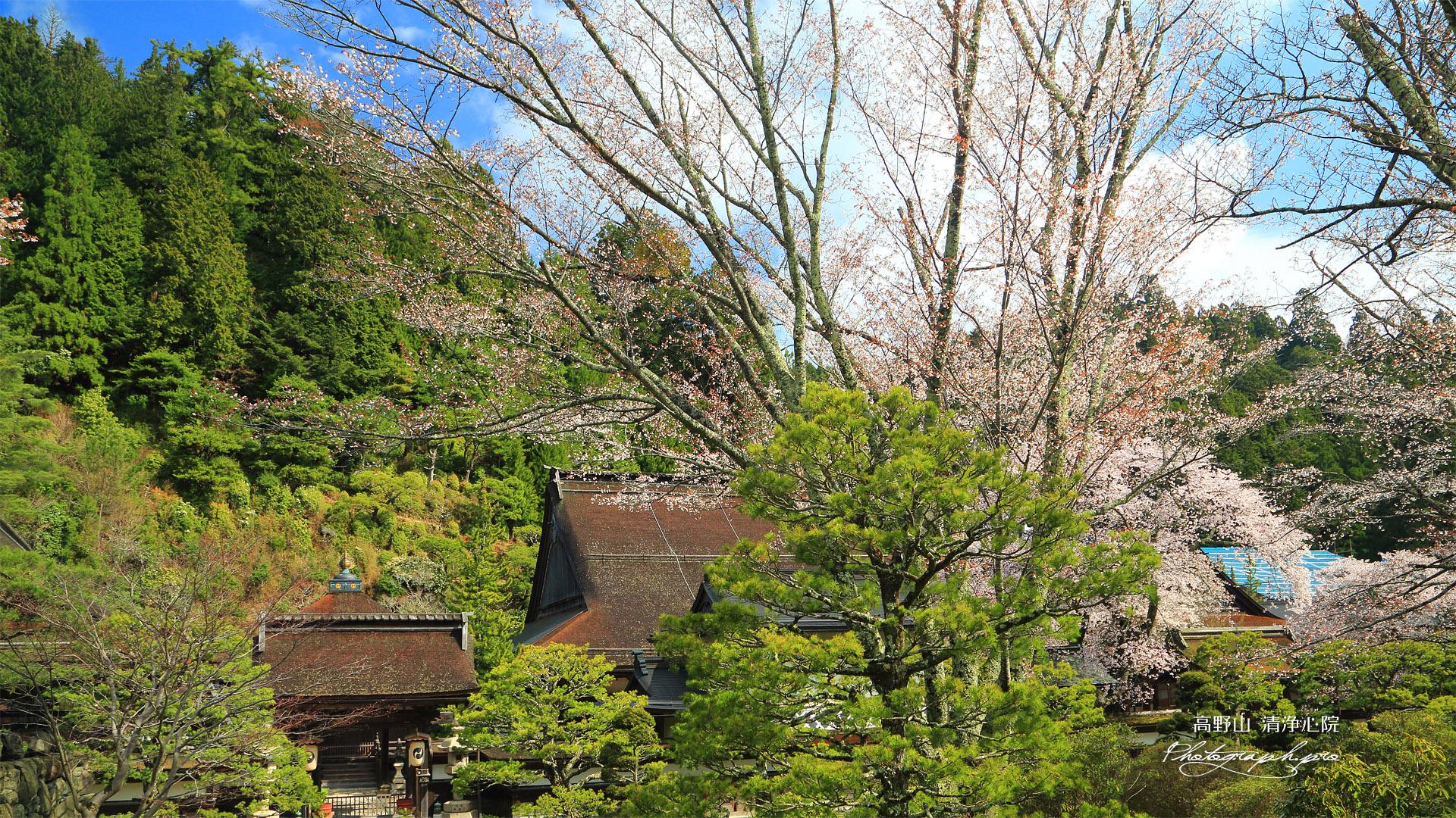 高野山 清浄心院の桜