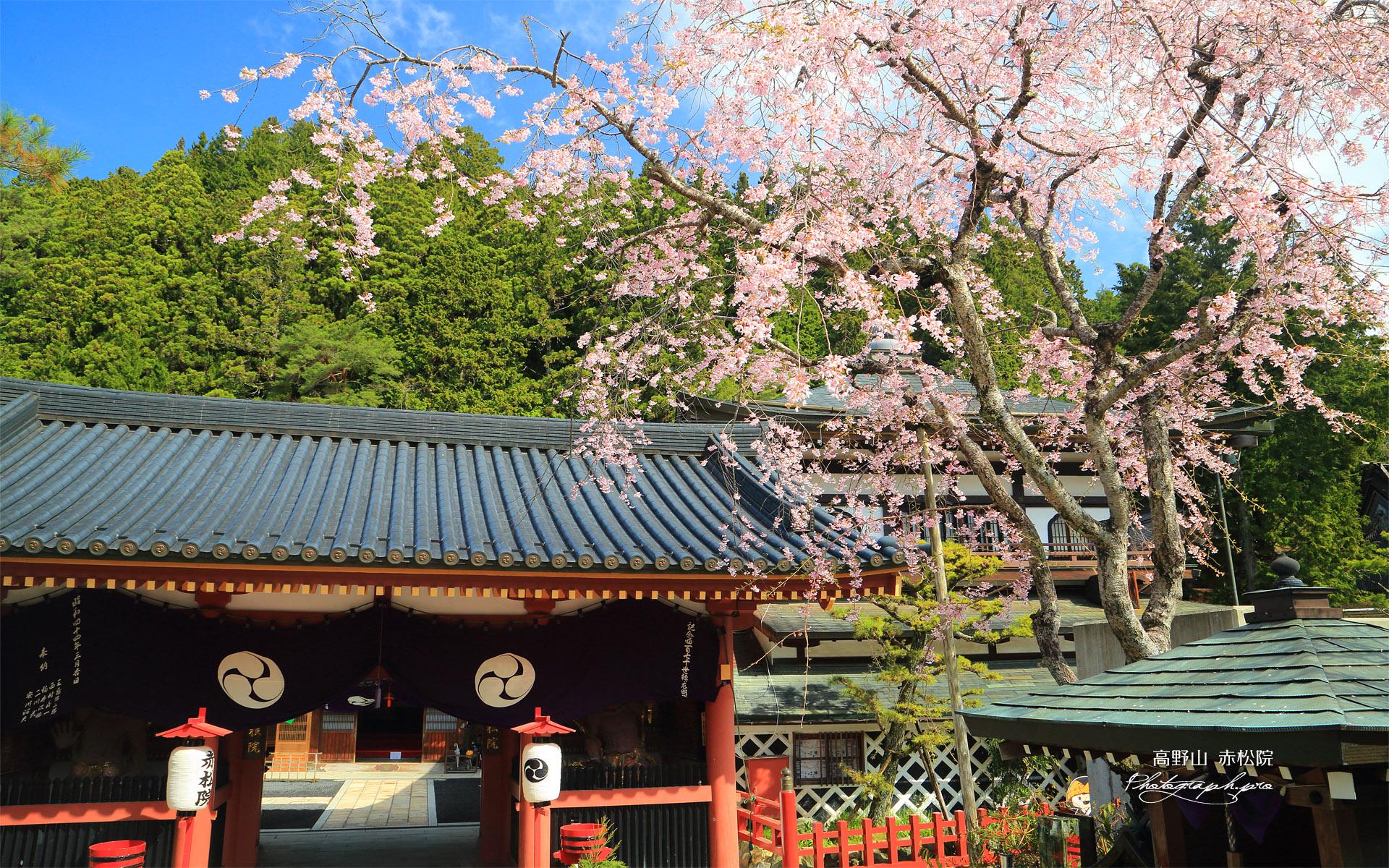 高野山 赤松院の桜