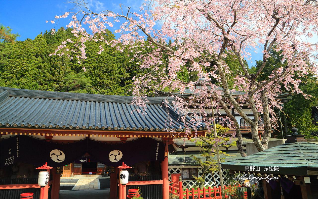 高野山 赤松院の桜 壁紙