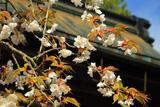高野山 熊谷寺の桜