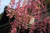 高野山 遍照光院の桜