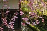 高野山 三宝院の桜
