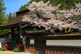 高野山 大円院の桜