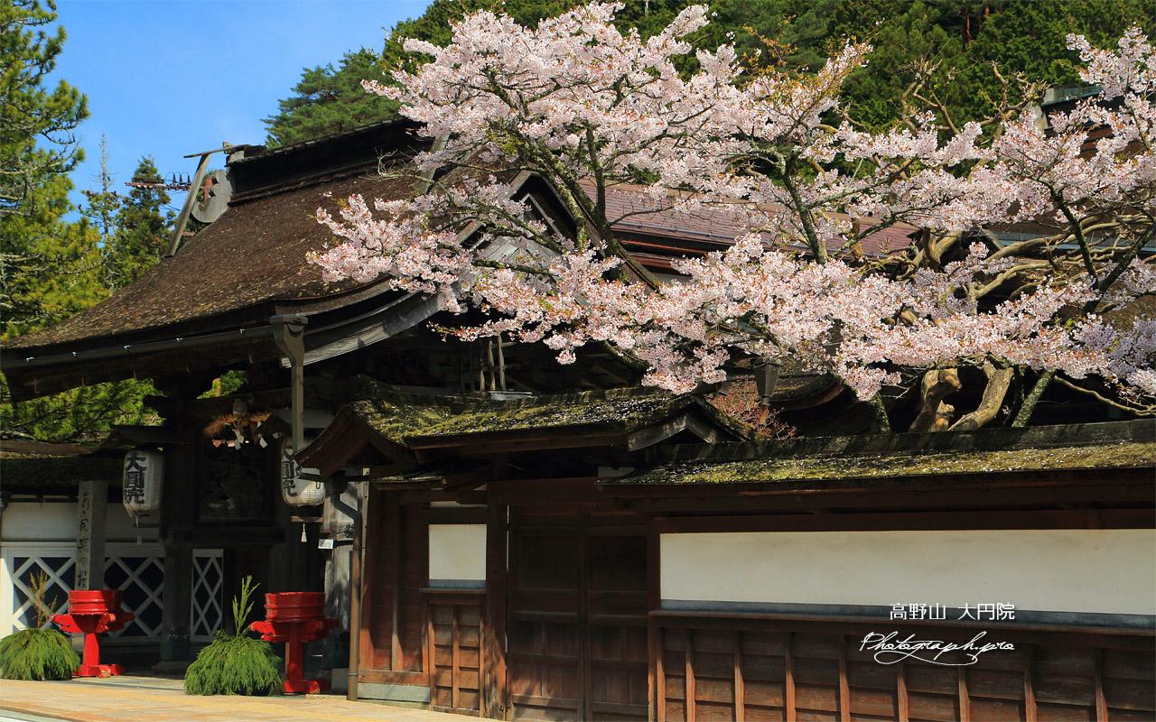 高野山 大円院の桜 壁紙