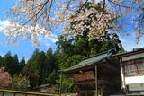 高野山 金剛三昧院の桜