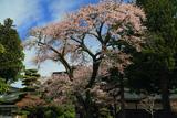 高野山 高室院の桜