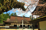 金剛峯寺の山桜