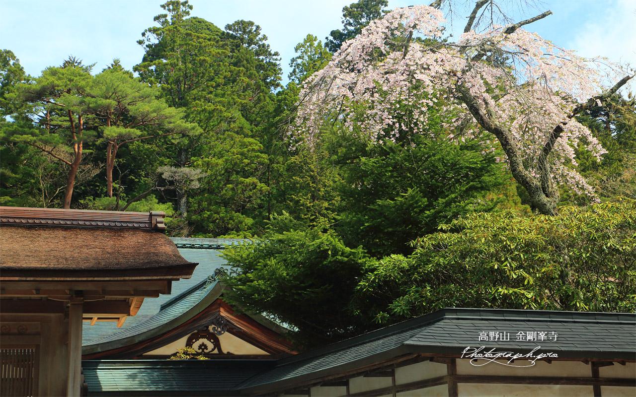 金剛峯寺のしだれ桜 壁紙