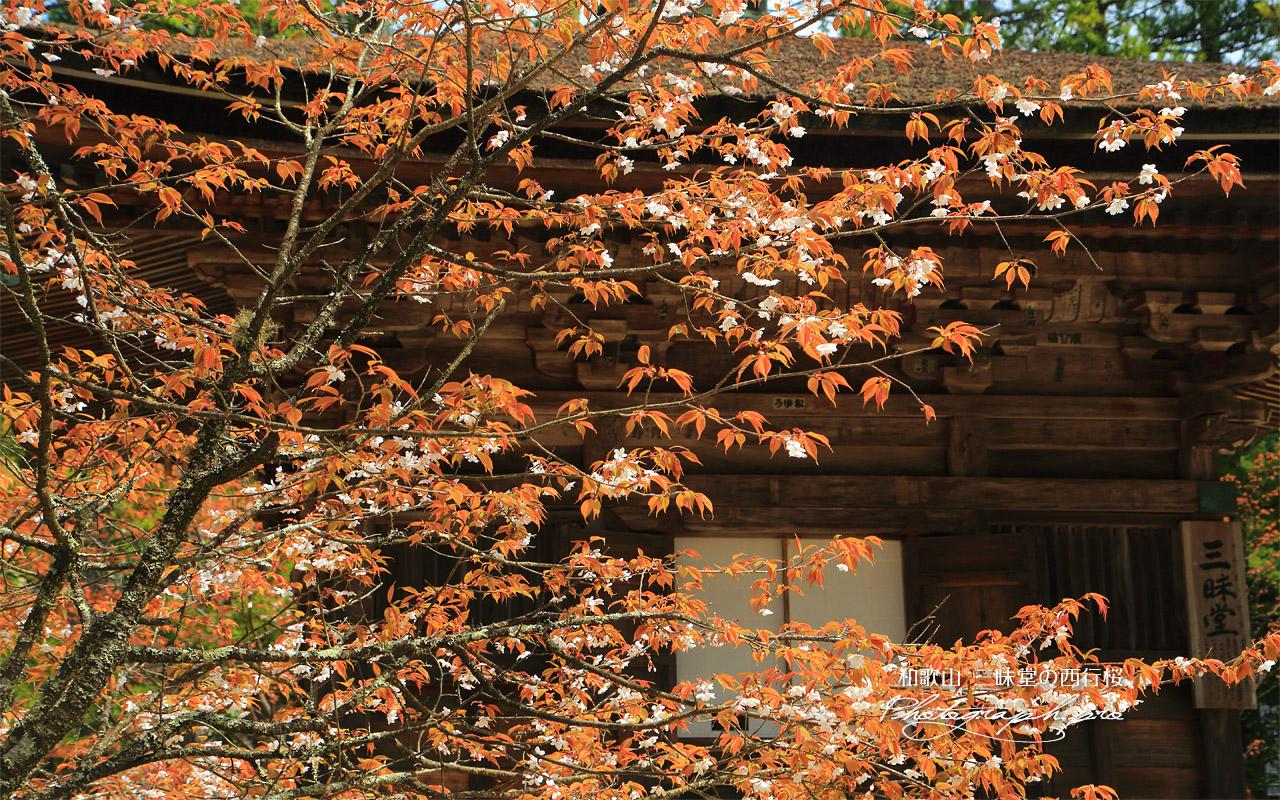 三昧堂の西行桜 壁紙