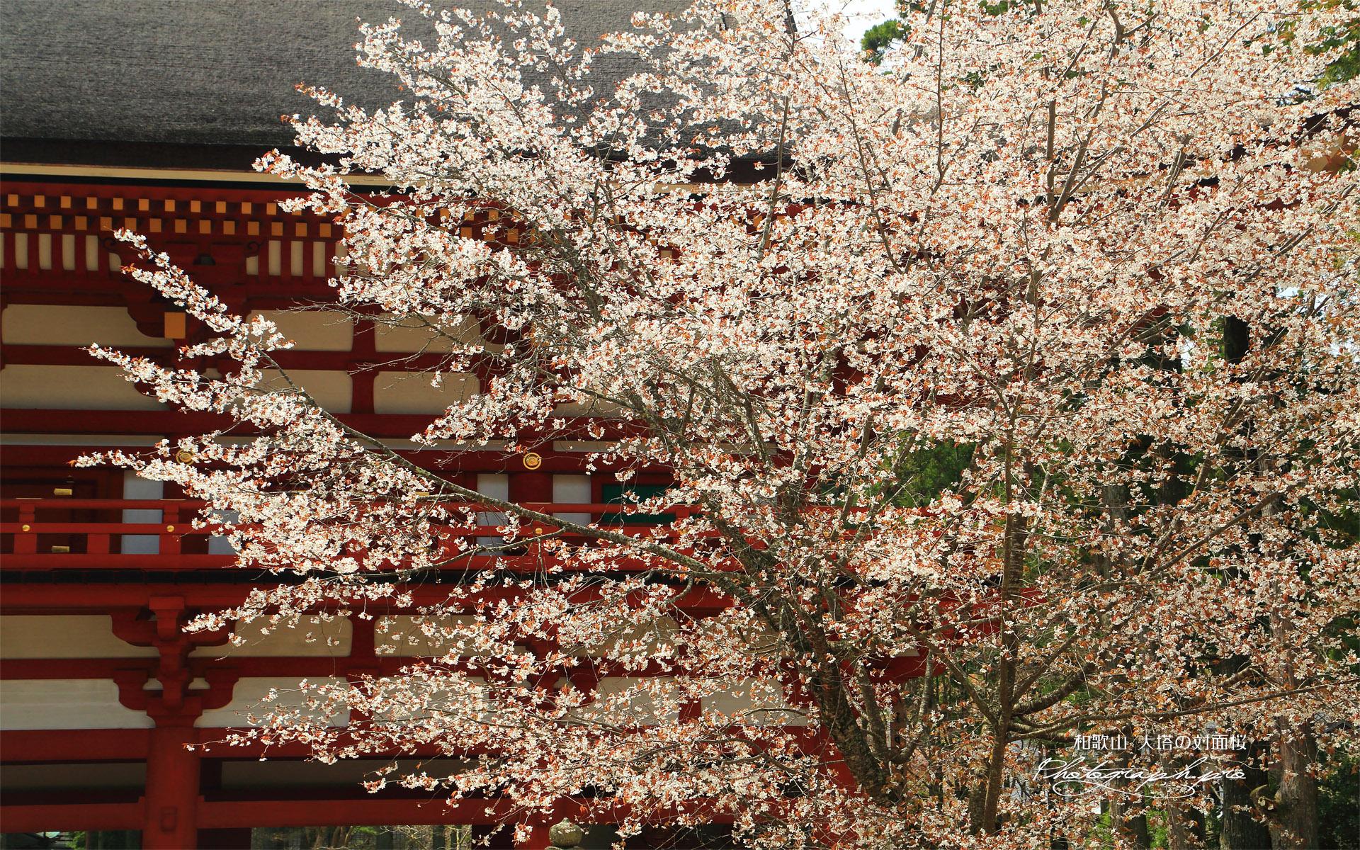 大塔の対面桜