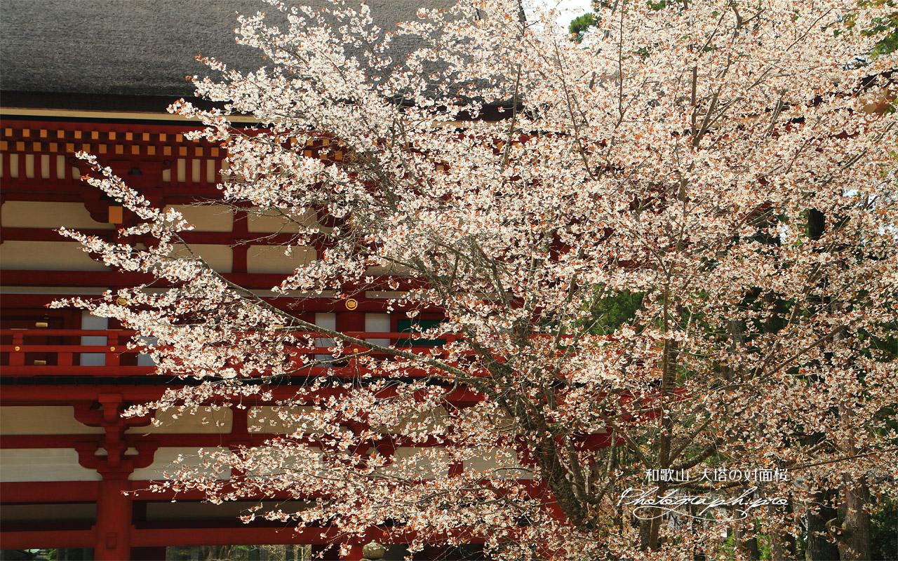 大塔の対面桜 壁紙
