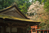 高野山 山王院の山桜
