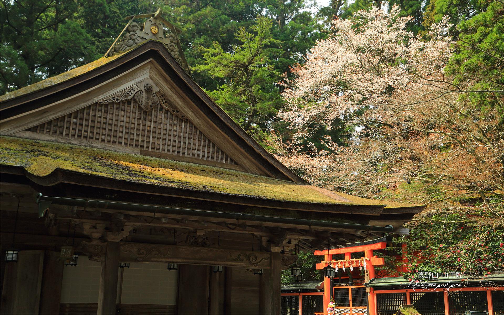 高野山 御社の山桜