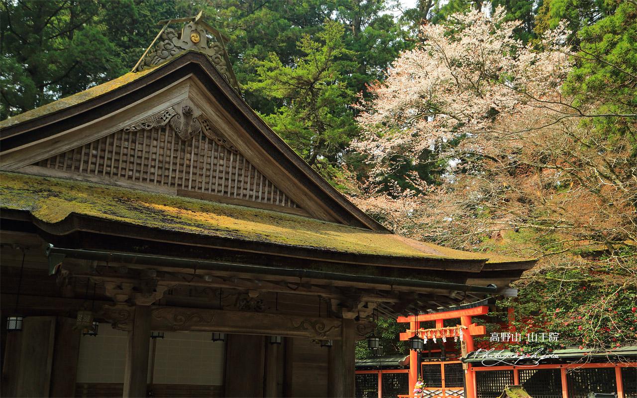 高野山 御社の山桜 壁紙