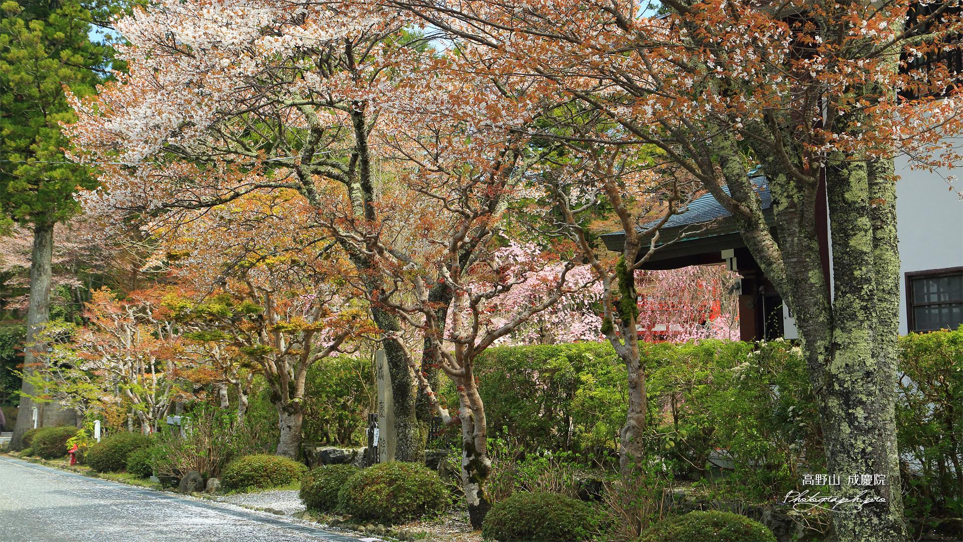 高野山 成慶院の桜
