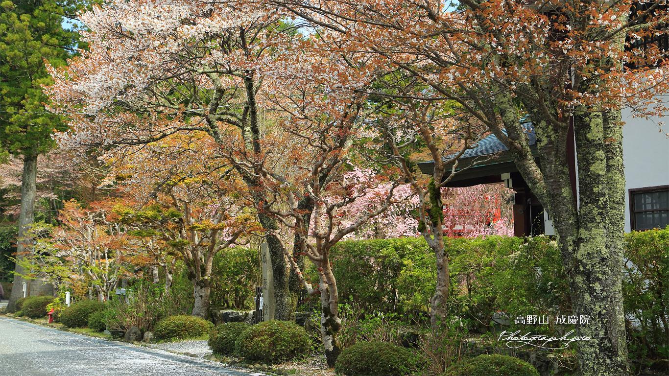 高野山 成慶院の桜 壁紙
