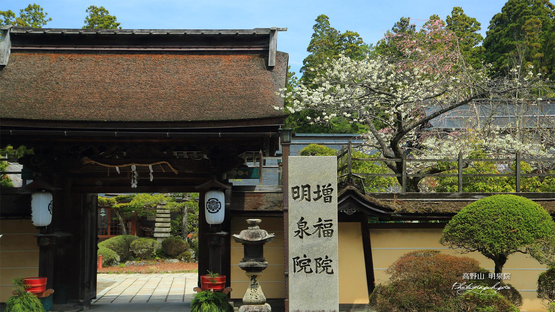 高野山 明泉院の桜