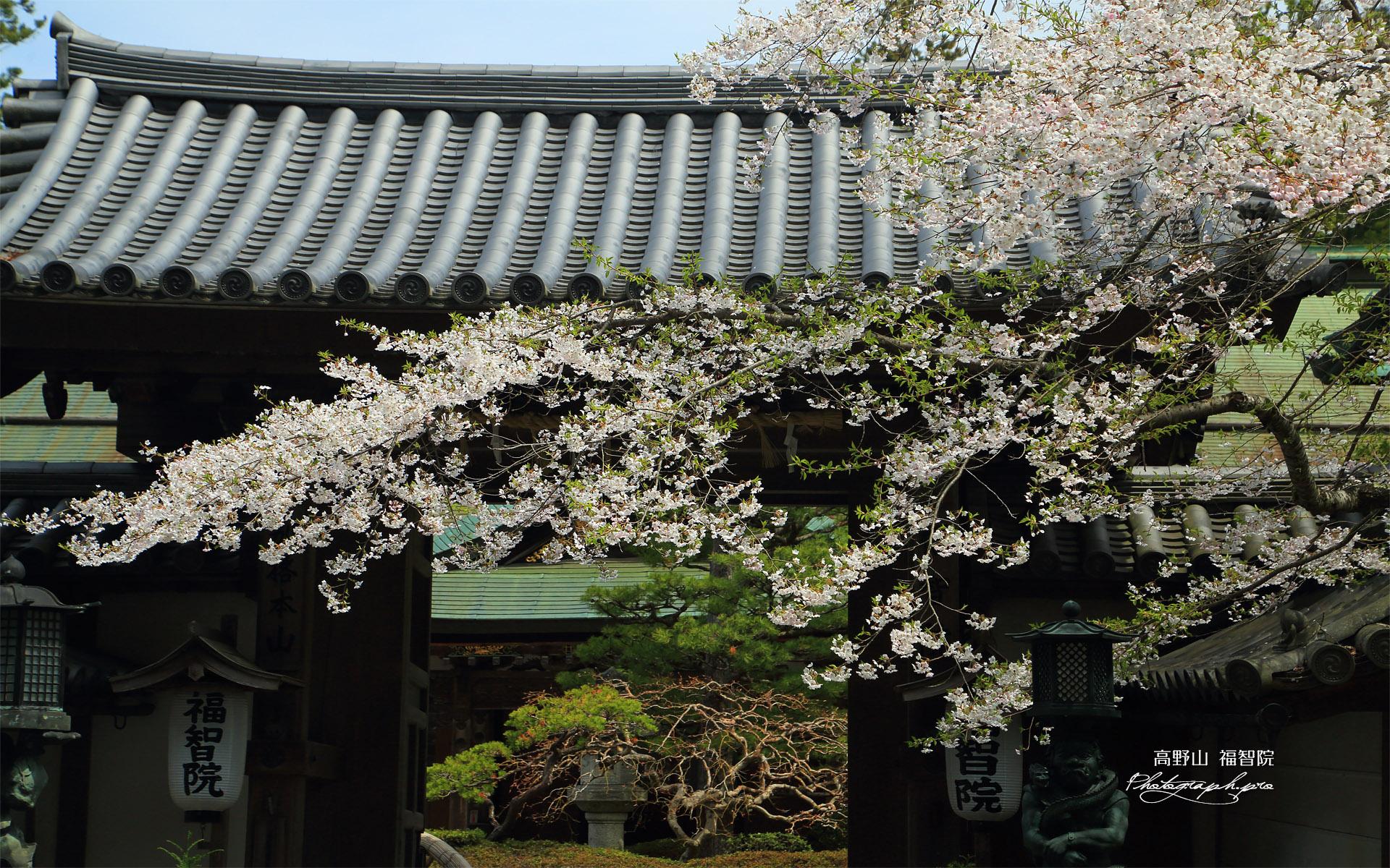 高野山 福智院の桜