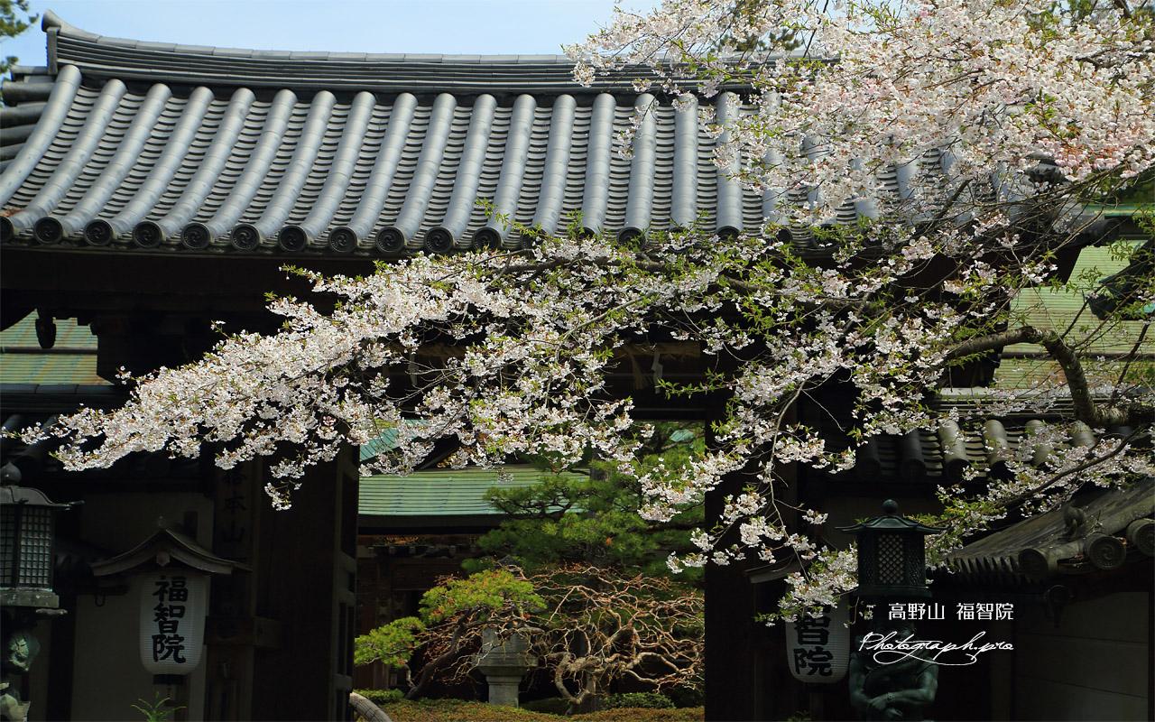 高野山 福智院の桜 壁紙